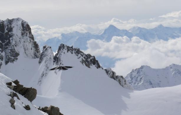 Choucas flying near the summit.